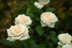 Άσπρα τριαντάφυλλα με τους οφθαλμούς σε ένα υπόβαθρο ενός πράσινου θάμνου στον κήπο Στοκ Φωτογραφία