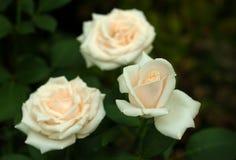 Άσπρα τριαντάφυλλα με τους οφθαλμούς σε ένα υπόβαθρο ενός πράσινου θάμνου στον κήπο Στοκ εικόνες με δικαίωμα ελεύθερης χρήσης