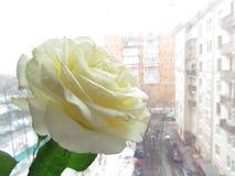 Άσπρα τριαντάφυλλα στα παράθυρα Στοκ Εικόνες
