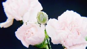 Άσπρα τριαντάφυλλα στη δυνατή βροχή Στοκ Φωτογραφία