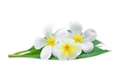 Άσπρα τροπικά λουλούδια frangipani ή plumeria Στοκ Φωτογραφία