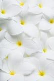 Άσπρα τροπικά της Χαβάης λουλούδια Plumeria Στοκ εικόνες με δικαίωμα ελεύθερης χρήσης