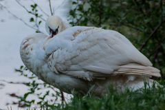 Άσπρα φτερά χνουδιού κύκνων στην όχθη ποταμού, αγροτικό τοπίο στοκ εικόνα