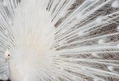 Άσπρα φτερά Peacock Στοκ εικόνες με δικαίωμα ελεύθερης χρήσης