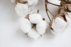 Άσπρα φυσικά λουλούδια βαμβακιού Ξηροί οφθαλμοί σε έναν κλάδο στοκ εικόνες