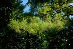 Άσπρα φύλλα πεύκων, πεύκο Strobus στοκ εικόνες