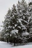 Άσπρα χιονισμένα δέντρα στο χειμερινό δάσος Στοκ εικόνα με δικαίωμα ελεύθερης χρήσης