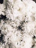 Άσπρα χρυσάνθεμα λουλουδιών Στοκ εικόνα με δικαίωμα ελεύθερης χρήσης