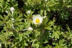 Άσπρα χρωματισμένα λουλούδια του anemone snowdrop Στοκ Εικόνες