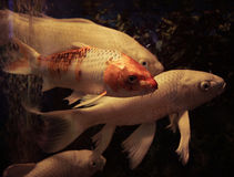 Άσπρα ψάρια Koi Στοκ Φωτογραφία