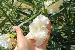 Άσπρα όμορφα και φυσικά λουλούδια στοκ φωτογραφία με δικαίωμα ελεύθερης χρήσης