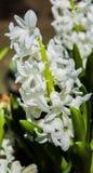 Άσπρα όμορφα λουλούδια, που περιβάλλονται από τα πράσινα φύλλα Στοκ Φωτογραφίες