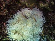 άσπρα anemone και ψάρια anemone Στοκ φωτογραφίες με δικαίωμα ελεύθερης χρήσης