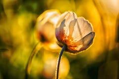 Άσπρα anemone & x28 Anemone nemorosa& x29  τα λουλούδια στο ηλιοβασίλεμα λάμπουν στο spri Στοκ Φωτογραφία