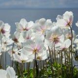 Άσπρα anemones από την πλάτη Στοκ εικόνα με δικαίωμα ελεύθερης χρήσης
