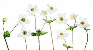 Άσπρα anemones με τη ζωηρόχρωμη πεταλούδα Στοκ εικόνα με δικαίωμα ελεύθερης χρήσης