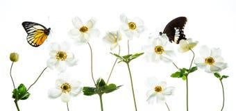 Άσπρα anemones με τη ζωηρόχρωμη πεταλούδα Στοκ Φωτογραφίες