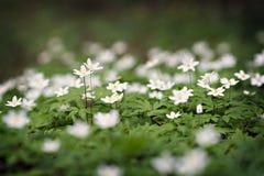 Άσπρα anemones στο δάσος Στοκ Εικόνες