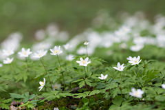 Άσπρα anemones στο δάσος Στοκ εικόνα με δικαίωμα ελεύθερης χρήσης