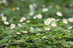 Άσπρα anemones στο δάσος Στοκ φωτογραφία με δικαίωμα ελεύθερης χρήσης