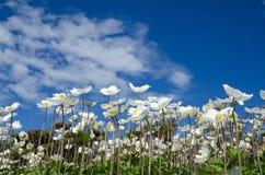 Άσπρα anemones στο μπλε ουρανό Στοκ Φωτογραφίες