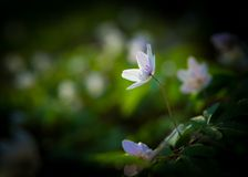 Άσπρα anemones (nemorosa Anemone) Στοκ Φωτογραφίες