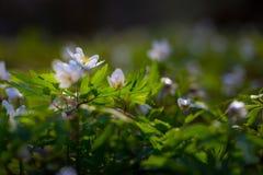 Άσπρα anemones (nemorosa Anemone) Στοκ Εικόνες