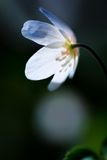 Άσπρα anemones (nemorosa Anemone) Στοκ φωτογραφία με δικαίωμα ελεύθερης χρήσης