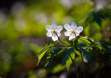Άσπρα anemones (nemorosa Anemone) Στοκ εικόνες με δικαίωμα ελεύθερης χρήσης