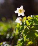Άσπρα anemones (nemorosa Anemone) Στοκ Φωτογραφία