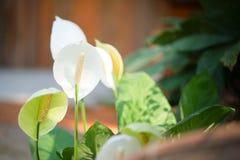 Άσπρα Anthurium λουλούδια Στοκ Εικόνα