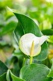 Άσπρα Anthurium λουλούδια Στοκ φωτογραφία με δικαίωμα ελεύθερης χρήσης