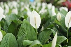 Άσπρα anthurium λουλούδια andreanum Στοκ εικόνα με δικαίωμα ελεύθερης χρήσης