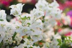 Άσπρα bougainvilleas στοκ φωτογραφία με δικαίωμα ελεύθερης χρήσης