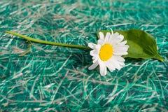 Άσπρα camomile και plantain Στοκ φωτογραφία με δικαίωμα ελεύθερης χρήσης