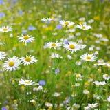 Άσπρα camomiles Στοκ φωτογραφίες με δικαίωμα ελεύθερης χρήσης