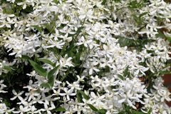 Άσπρα clematis άνθισης Στοκ Φωτογραφίες