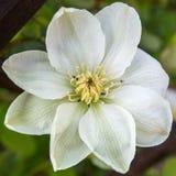 Άσπρα clematis στον κήπο Στοκ φωτογραφία με δικαίωμα ελεύθερης χρήσης
