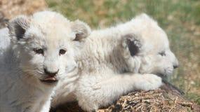 Άσπρα Cubs λιονταριών Στοκ Εικόνες