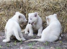 Άσπρα Cubs λιονταριών Στοκ Φωτογραφίες