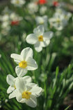 Άσπρα daffodils μεταξύ των πράσινων φύλλων μια ηλιόλουστη ημέρα Στοκ Φωτογραφίες