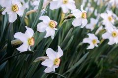 Άσπρα daffodils σε έναν κήπο με τα σκούρο πράσινο φύλλα νάρκισσοι στοκ φωτογραφία