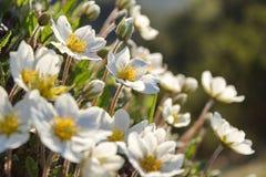 Άσπρα dryas, άσπρα λουλούδια βουνών Στοκ Φωτογραφία