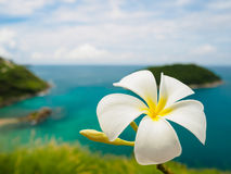 Άσπρα frangipani & x28 plumeria& x29  λουλούδια στο νησί θάλασσας στο phuket Ταϊλάνδη ως υπόβαθρο Στοκ Εικόνα