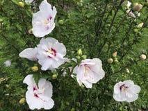 Άσπρα hibiscus άνθη στοκ φωτογραφία με δικαίωμα ελεύθερης χρήσης
