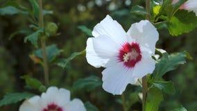 Άσπρα hibiscus λουλούδια απόθεμα βίντεο
