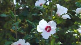 Άσπρα hibiscus λουλούδια φιλμ μικρού μήκους