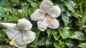 Άσπρα hibiscus στην άνθιση Στοκ φωτογραφίες με δικαίωμα ελεύθερης χρήσης