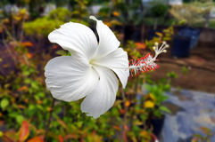 Άσπρα hibiscus Στοκ Εικόνες