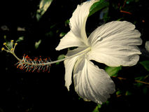 Άσπρα hibiscus Στοκ φωτογραφία με δικαίωμα ελεύθερης χρήσης
